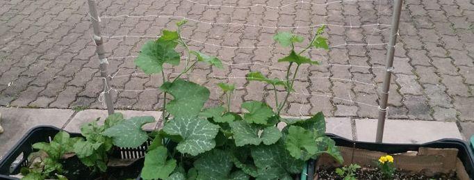 Utilizar treliças é uma ótima alternativa para poucos espaços, para proteger frutos de apodrecimento em contato com o solo, aerar por entre a planta com maior facilidade ou simplesmente para dar um charme ao jardim. Aliás, não só jardim, como para uma sacada, já que nada impede de você ter um lindo pé de feijão…