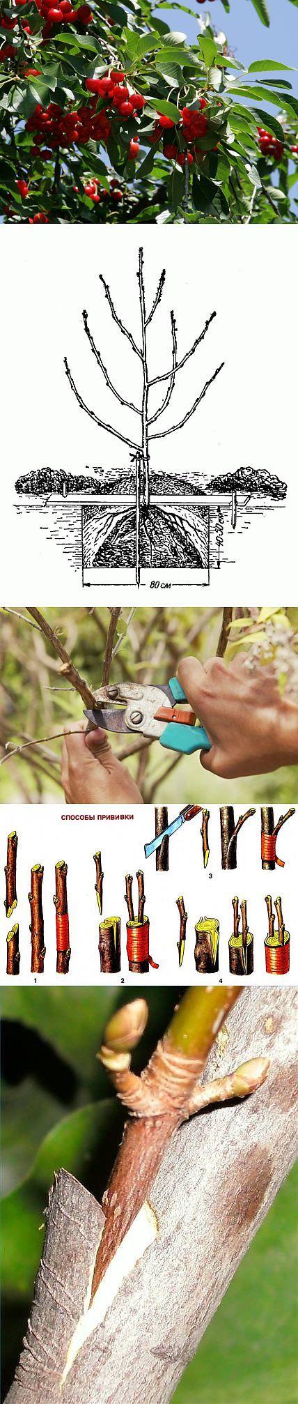 Размножение вишни. Посадка и уход за вишней. В этой статье уделим особ | Сад и огород | Постила