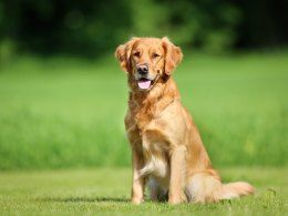 The Golden Retriever Dog Breed Information and Facts, including buying advice, photos, average costs to own and health care tips.