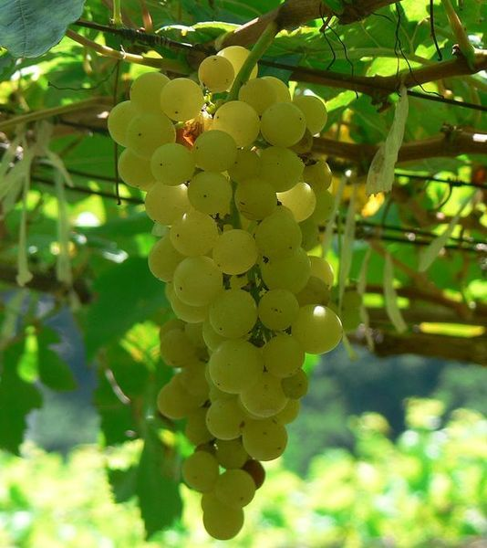 Chenin grapes from Snooth: Wine, Fruit, Grape Vines, White Wines, Chenin Blanc, South Africa, Blanc Grapes Jpg, Wine Grapes