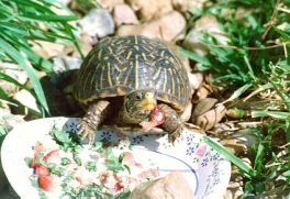 19 Best Images About Box Turtle On Pinterest