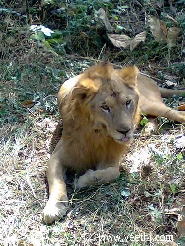 A Lion in the Sanjay Gandhi National Park - Mumbai