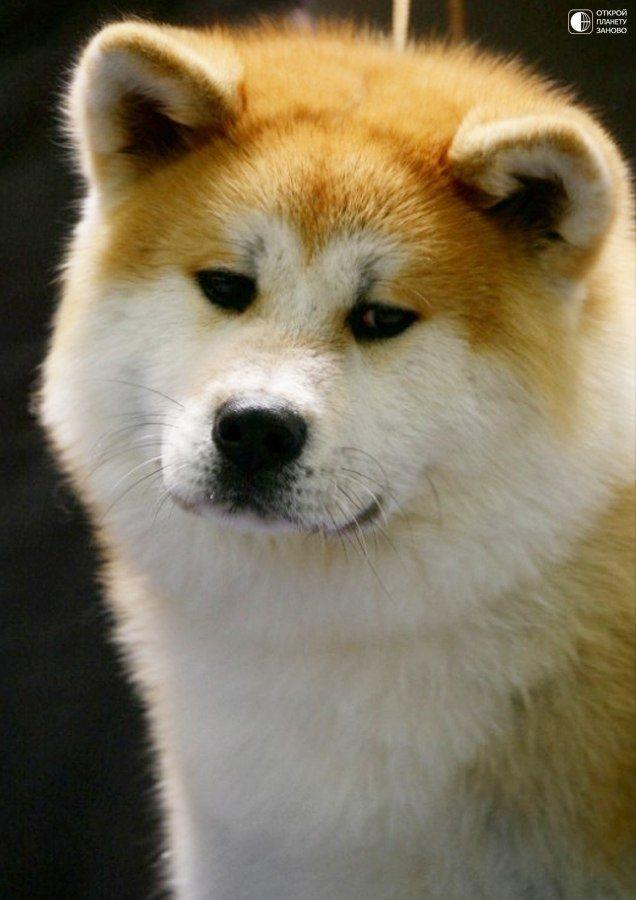 Японская собака акита или Акита-ину - Путешествуем вместе