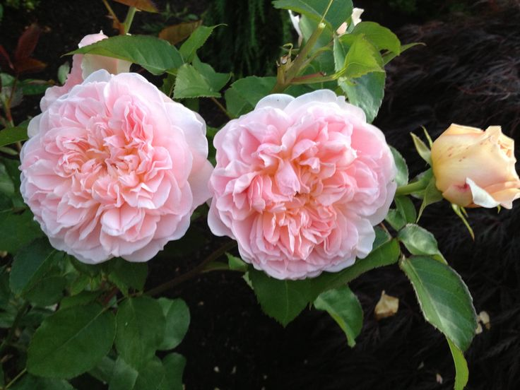 English Tea Roses - great substitute when peonies are no longer in season