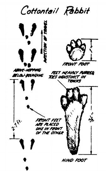 cottontail rabbit footprints identify animal tracks illustration
