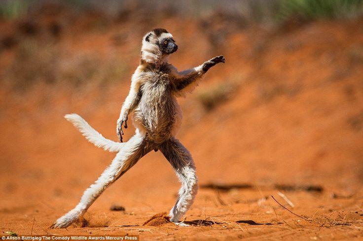 Este sifaca de Verreaux ha decidido celebrar su propia 'Fiebre del Sábado Noche', Madagascar (Alison Buttigieg, 2016)