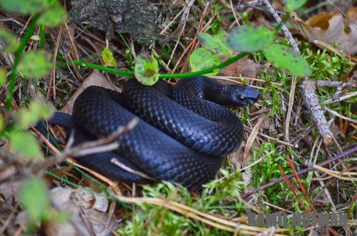Żmija zygzakowata - Vipera Berus - osobnik melanistycznny cały czarny