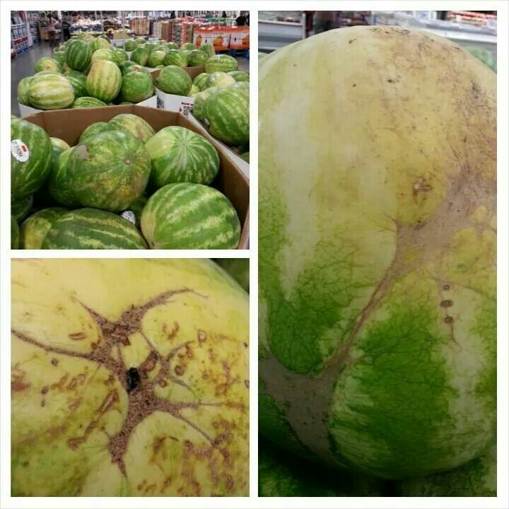 How to pick a watermelon! Yellow spot  brown webbing mean ripe. Black spots are signs of sweetness,  not of spoiling.