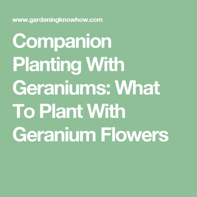 Companion Planting With Geraniums: What To Plant With Geranium Flowers