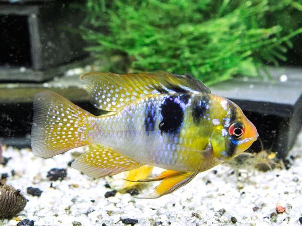 German Blue Ram Dwarf Cichlid Mikrogeophagus Ramirezi Tank Bred Cichlids Tropical Fish Aquarium South American Cichlids
