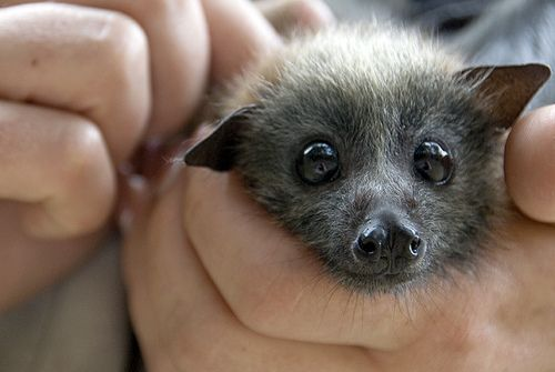 cute baby bats - Google Search