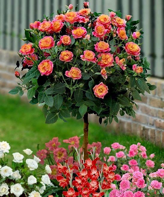 Gorgeous! Tahiti Sunrise Rose Tree