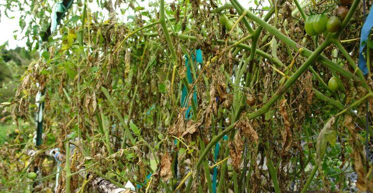 Mana tomatelor: lămuriri, soluții bio și toate tratamentele chimice | Paradis Verde