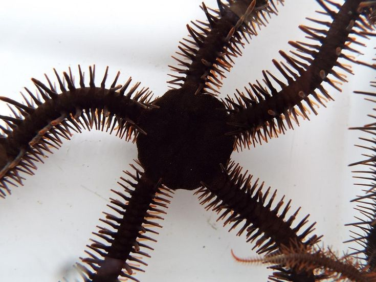 A specimen of the brittle star Ophiocoma wendtii.