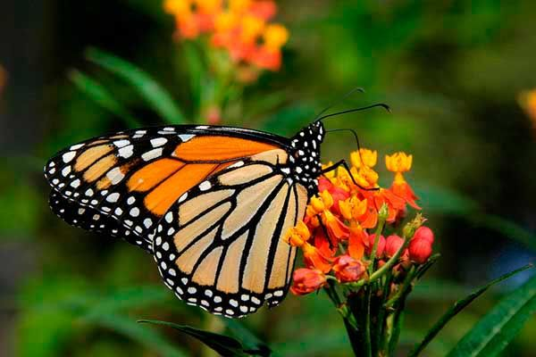 Danaus plexippus (Mariposa monarca)