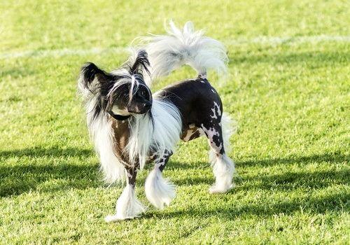 Hunderasse Chinesischer Schopfhund