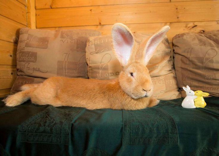 Scozia, il coniglio gigante trova casa: Atlas finalmente adottato