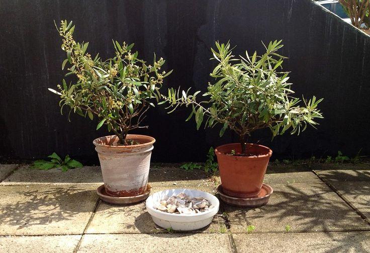 Mini olivetrees