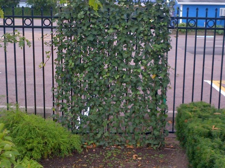 108 best green thumb living fences images on pinterest for Living screen fence