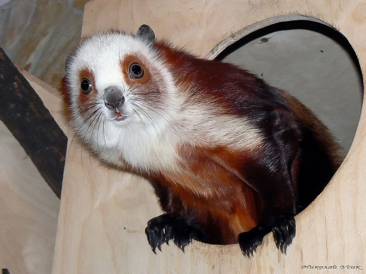 Chinese giant flying squirrel - photo#24