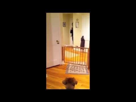 Its a Bird, Its a Plane, Its My Dog! Dog jumps over fence while no one is looking. #dog #dogs #dogflying #dogtricks #funtasticalfriday http://zigisituations.com/2013/04/12/funtastical-friday-its-a-bird-its-a-plane-its-my-dog/