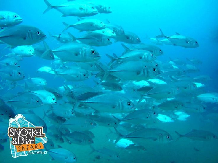 Vis is awesome in the seaway today! #seaway #goldcoastdiving #fish #sealife #goldcoast #tourism #scubadiving #dive