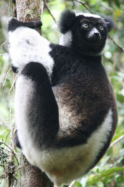 A gorgeous indri indri - the lemur with ears like a koalas - in the Mitsinjo Reserve adjacent to Andasibe National Park, Madagascar.