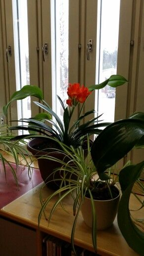 Kliivia kukkii taas! 23.3.2016
