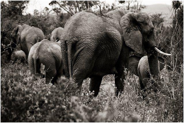 Elephant in Hluhluwe Game Reserve