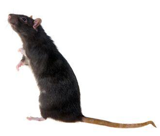 Common Rat Species | Rentokil Pest Control
