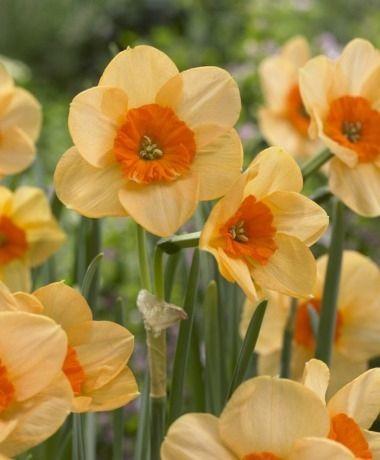 Narcissus Kedron - Jonquilla Narcissi - Narcissi - Flower Bulbs Index