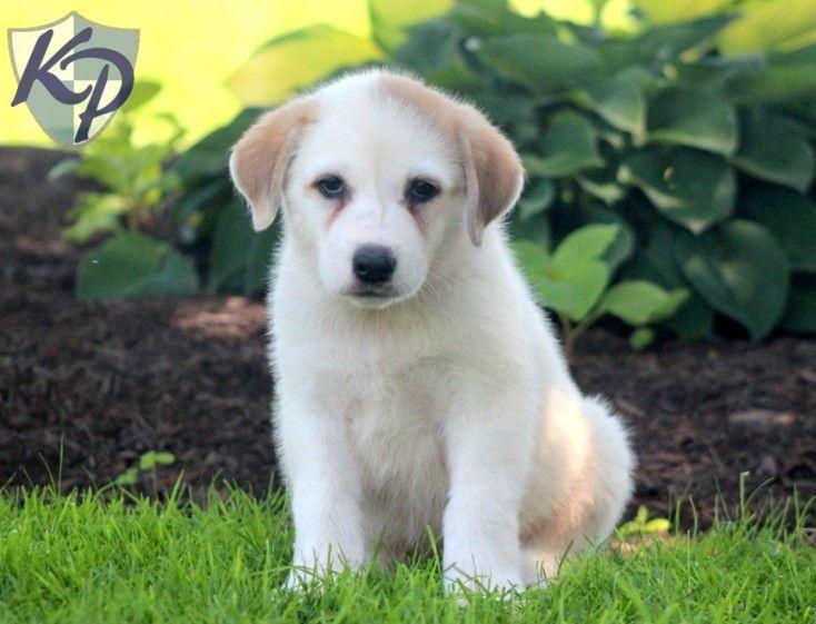 Hugo – Akbash Puppy www.keystonepuppies.com #keystonepuppies #akbash