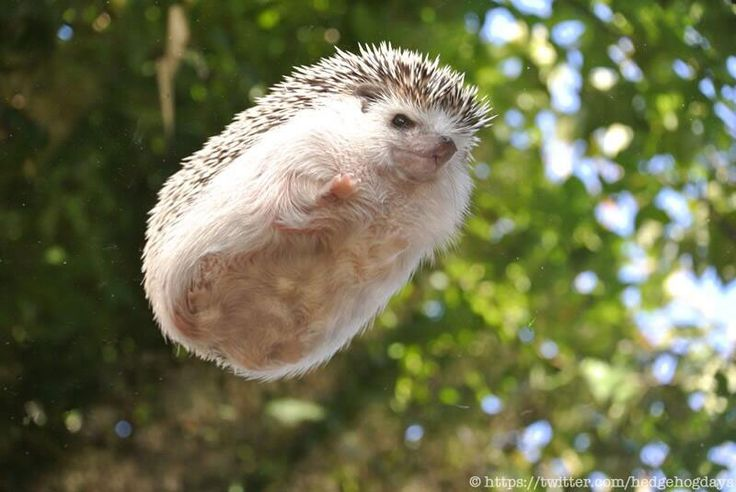 """It's a bird... It's a plane... its Marutaro the """"flying"""" pygmy hedgehog"""