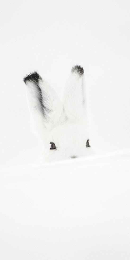 Vincent Munier  Solitude - lièvre arctique