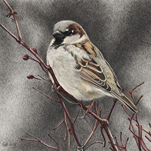 """House Sparrow with Rose Hips by Sue deLearie Adair Colored and Graphite Pencils ~ 5.75"""" x 5.75"""""""