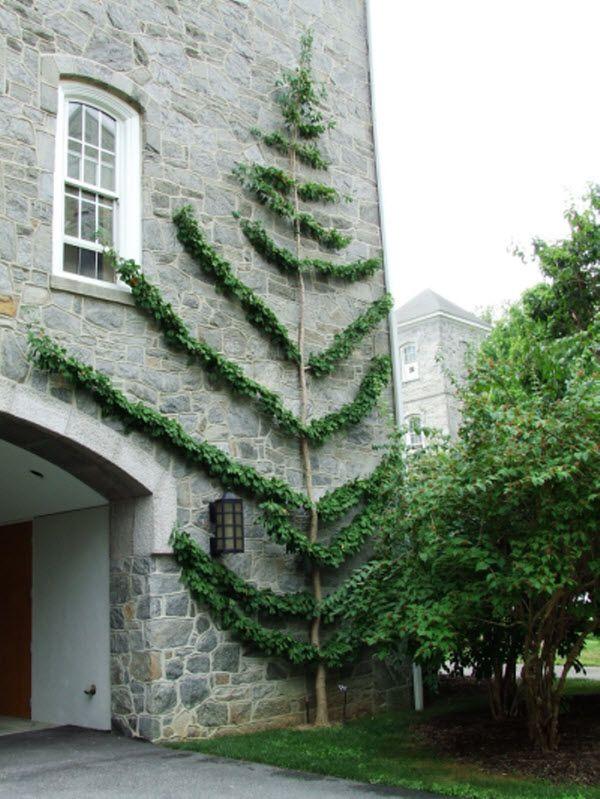 Swarthmore College Ginkgo biloba espalier  thinkingoutsidetheboxwood.com