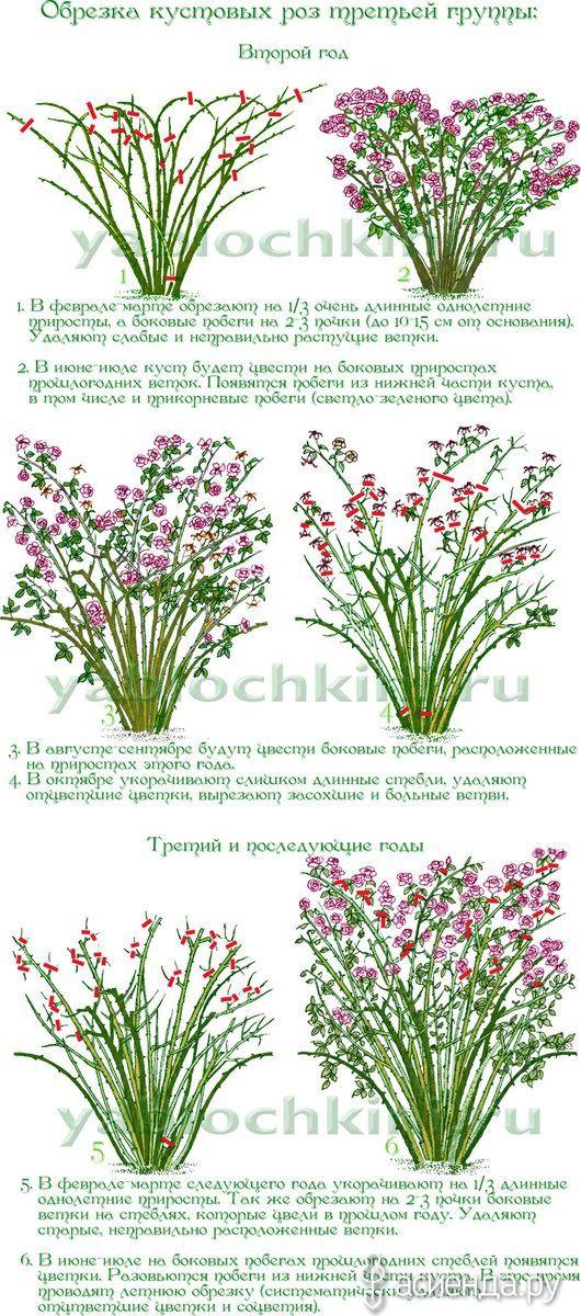 Обрезка роз. часть 6. Парковые розы.: Группа Цветы и флористика