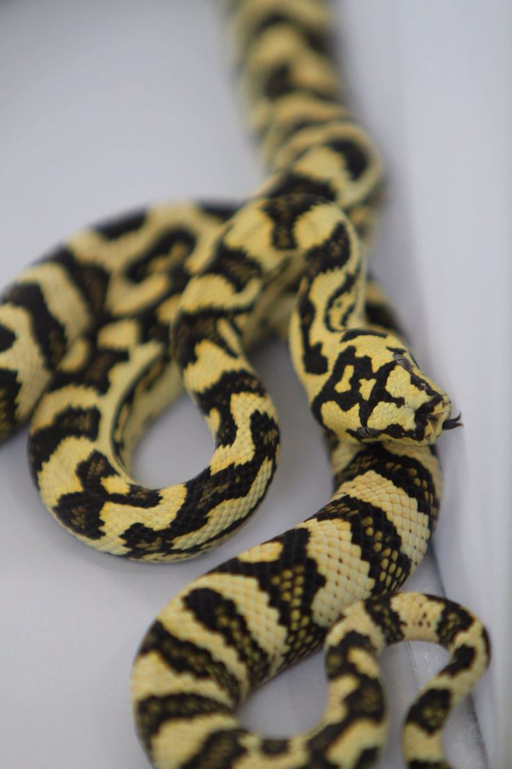 14 best Jungle Carpet Pythons images on Pinterest ...