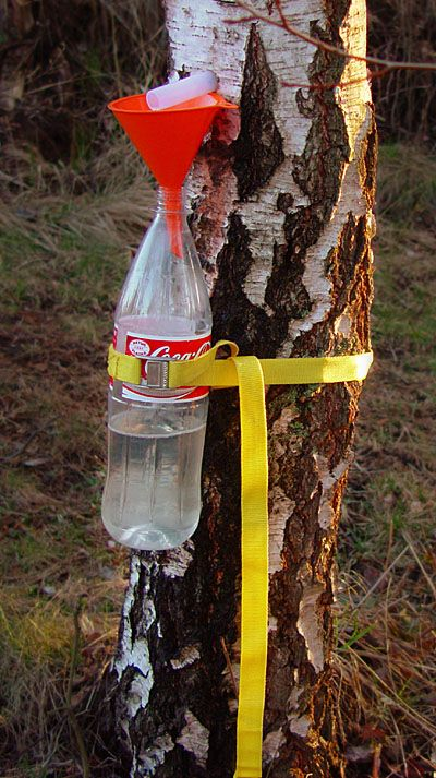 Collection of birch sap