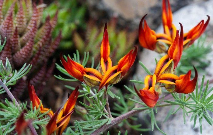 Kakabeak (Clianthus) é um membro da família dos legumes, e deve seu nome à forma das flores, que lembram o bico do papagaio Kākā, da Nova Zelândia.