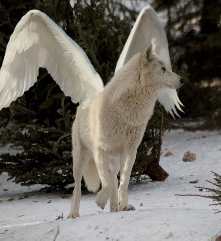 число фото человека волка с крыльями разные