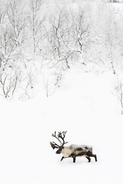 moose, this is not a moose, yet so many people call them one