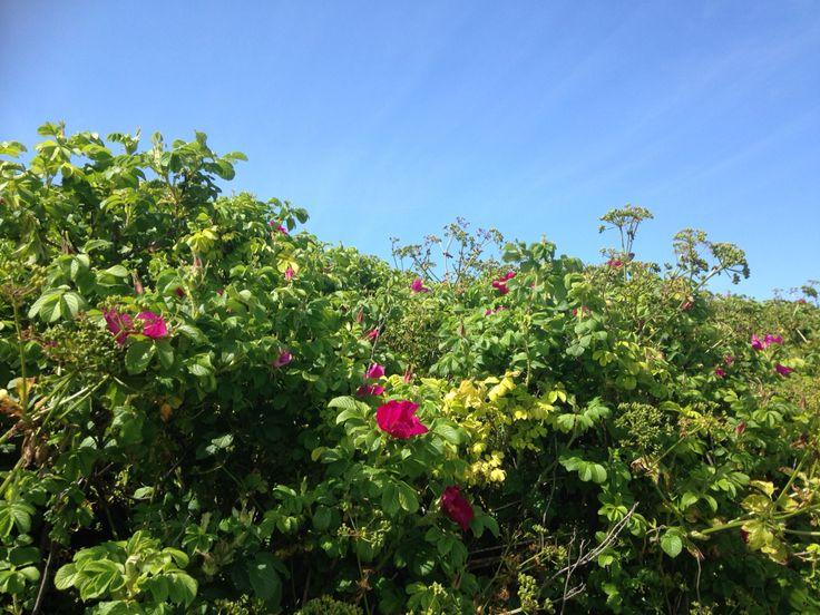 Coast path roses #cornwall