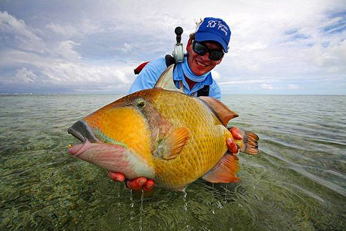 17 best images about triggerfish on pinterest the fly for Hawaii state fish humuhumunukunukuapua a pronunciation
