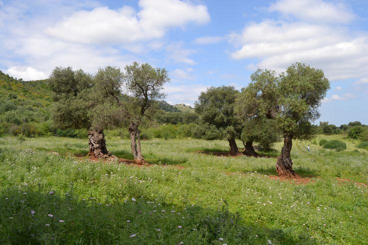 Ulivi Monumentali di Puglia candidati Unesco