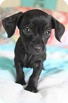 Hagerstown, MD - Chihuahua/Dachshund Mix. Meet Rambler, a puppy for adoption. http://www.adoptapet.com/pet/13827642-hagerstown-maryland-chihuahua-mix