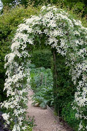clematis wilsonii 39 montana 39 plants with white or cream. Black Bedroom Furniture Sets. Home Design Ideas