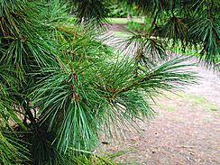 Pinus peuceSilkefuruPinaceae FurufamilienLIGNOSE