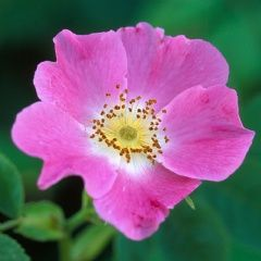 Rosa canina - David Austin Roses. Fort parfum
