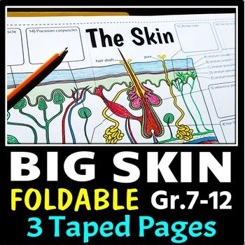 Skin interactive notebook foldable. This big skin foldable will get your students excited about learning about the integumentary system (a.k.a. the skin)!  Students will be able to record all the descriptions of the structures in one large graphic organizer (made up of 3 taped letter-sized pages).
